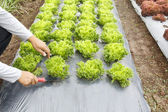 Vegetable garden ,with plastic ground cover or weed barrier — Стоковое фото