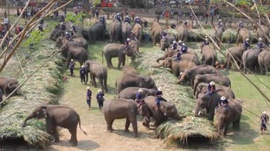 Elephants joyfully on fruits buffet elephants festival . — Stock Video