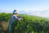 Asian woman works on tea plantation in China — Stock Photo