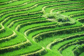 Green shoots of rice on mountain fields — Stockfoto
