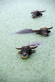 Water buffalo in lake — Foto de Stock