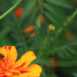 Tagetes — Stock Video