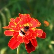 Bumblebee on tagetes - Stock Photo