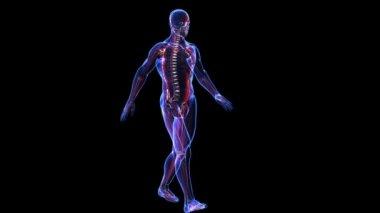Anatomy: skin, skeleton, muscules — Stock Video