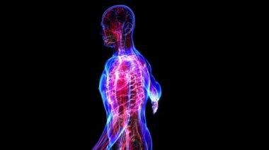 Human circulatory system — Stock Video