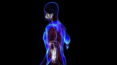 Human digestive system. Loop — Stock Video