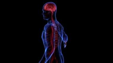 Human nervous system. Loop — Stock Video