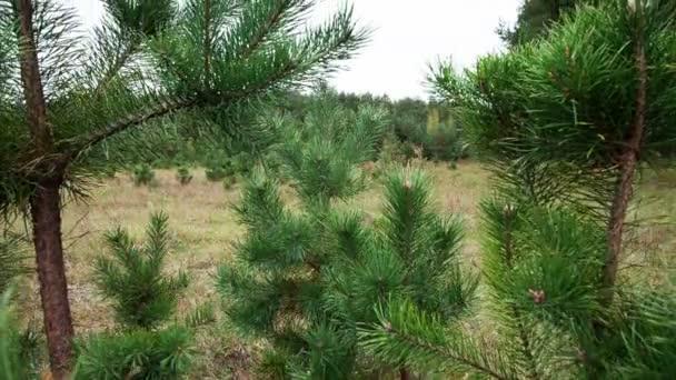 Branches de pin — Vidéo