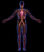 Human Circulatory and Lymphatic systems — Stock Photo