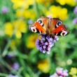 Butterfly peacock and small violet flowers — Stock Photo