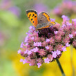 Red small butterfly small copper on violet flower in park in Brussels drinking nectar — Stock Photo
