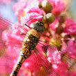Backlit dragonfly on pink flower - Stock Photo