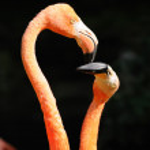 Kissing flamingos on dark background — Stock Photo