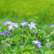 Shallow DOF image of field geranium — Stock Photo