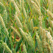 Field with green wheat not ready yet for collection — Stock Photo