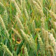 Field with green wheat not ready yet for collection — Stock Photo #12285351