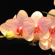 Stock Photo: Pink Orchids on dark background