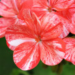 Red and white pelargonium — Stock Photo