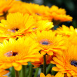 Foto de Stock  : Shallow DOF image of yellow gerberas with water in middle of flowers