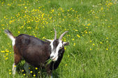 Brown and white goat eating grass — Stock Photo