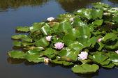 Pink lotuses in park in Brussels, Belgium — Stock Photo