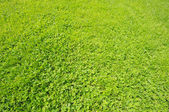 Close-up image of green grass and clover field — Stock Photo