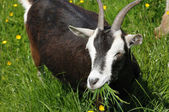 Closeup image of goat eating fresh green grass — Stock Photo