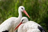 Couple of white storks against green leaves — Стоковое фото