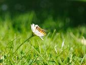 Pequeña mosca amarilla en flor blanca rodeada de verde césped — Foto de Stock