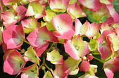 Closeup image of flowers of white and pink hydrangea — Stock Photo