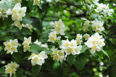 Jasmine tree in garden — Stock Photo