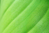 Natural background with macro image of sparkling young banana leaf — Stock Photo