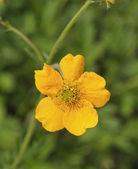 Closeup image of little yellow flower in garden — Stock Photo