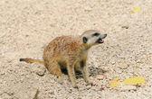 Meerkat zangado, protegendo os restos de sua comida — Foto Stock