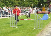 Agility competitions organized by Club Cynologique d'Ile Sainte-Helene runs with his dog during National Day of Belgium — Foto Stock