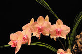 :Pink Orchids on dark background — Stock Photo