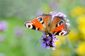 Peacock butterfly on violet flower in park in Brussels — Stock Photo