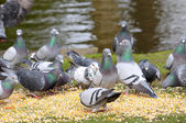 Pigeons eating corn in city parc — Stock Photo