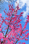 Pink cherry spring blossom in Brussels — Stock Photo