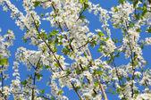 蓝蓝的天空背景上的丰富果园花朵 — 图库照片