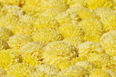 Gelbe chrysanthemen — Stockfoto