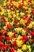 Natural background with red and yellow tulips — Stock Photo