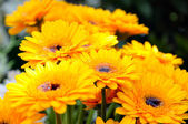 Shallow DOF image of yellow gerberas with water in the middle of flowers — Stock Photo