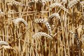 Wheat spikes — Stock Photo