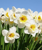 White narcissuses with blue sky in background — Stock Photo