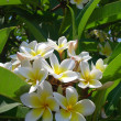 Flowers of jasmine in city garden — Stock Photo