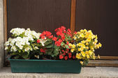 Three colors of begonia in flower pot on window of old house — Stock Photo