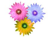 Three colors of cactus flowers — Stock Photo