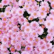 Chrysanthemums closeup - Stock Photo