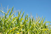 Corn field and a blue sky — Stock Photo